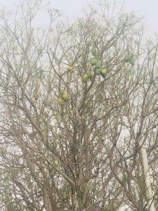 עצי מנגו נפגעו מנחיל ארבה